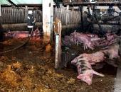 Tömeges sertéspusztulás – 2000 állat égett el elevenen