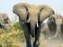 Érthetetlen: Álmában ölte meg az elefánt