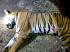 13 emberrel végzett a gyilkos tigris – luxusparfümmel csalták lépre