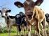 Uniós döntés: csak állati eredetű termék a tejtermék